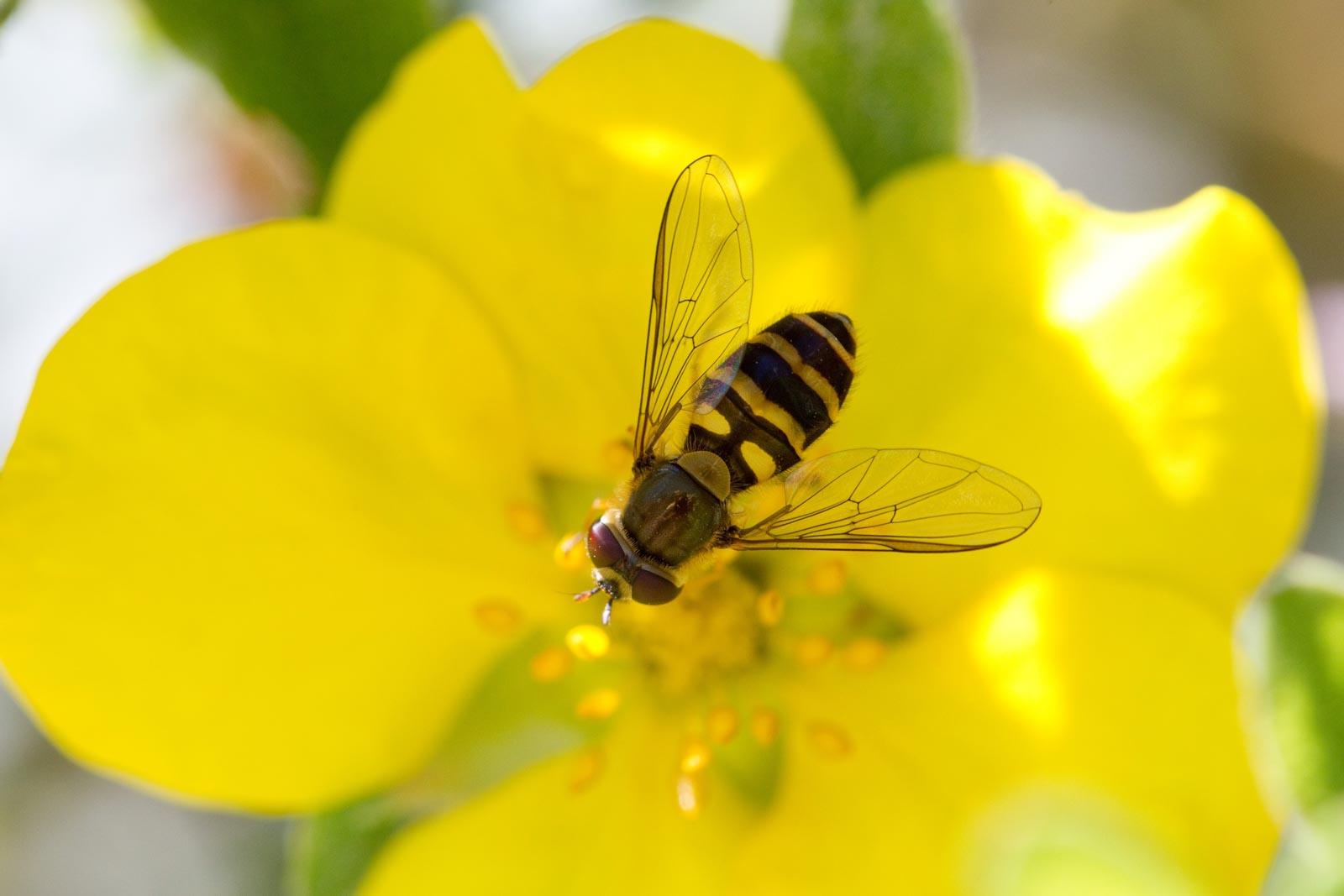 Zweefvlieg op een gele bloem