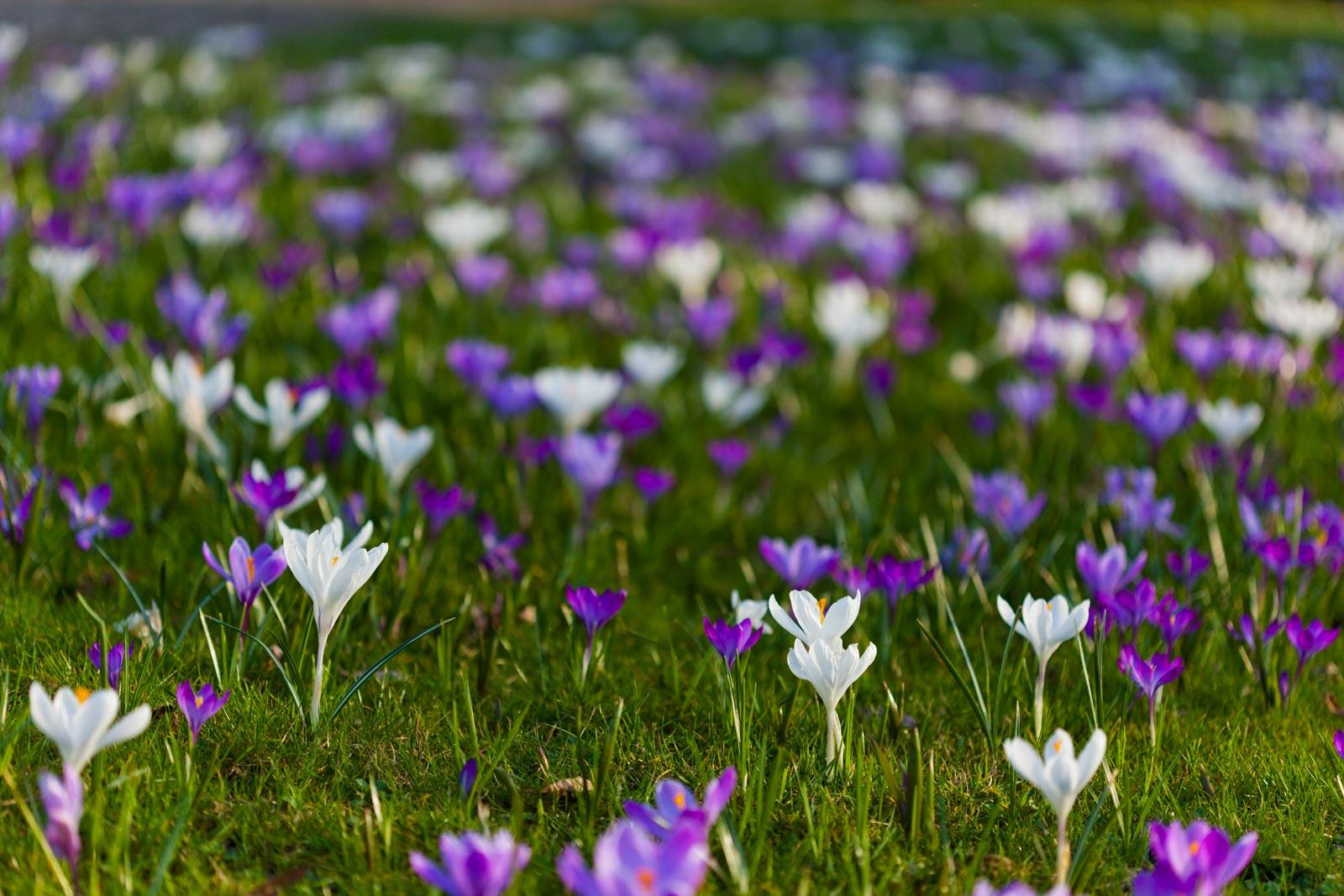 Krokussen in bloei tussen het gras