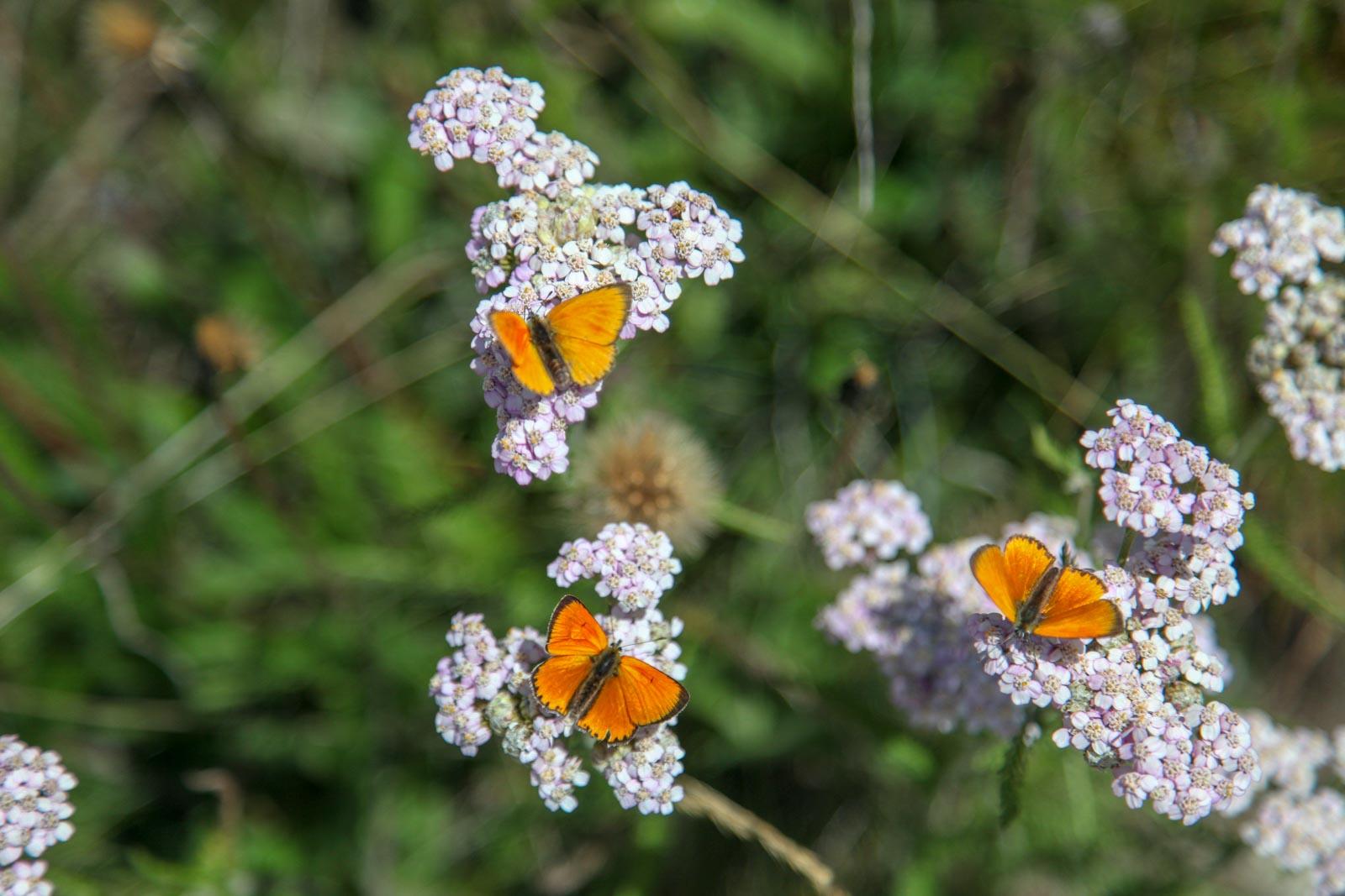 3 vlinders op bloemen