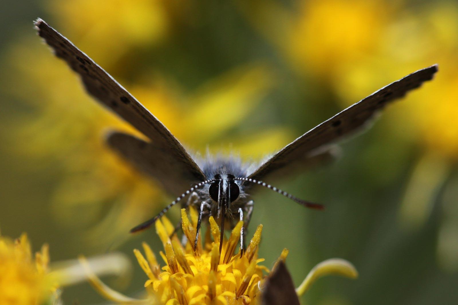 Vlinder op een stamper van een bloem