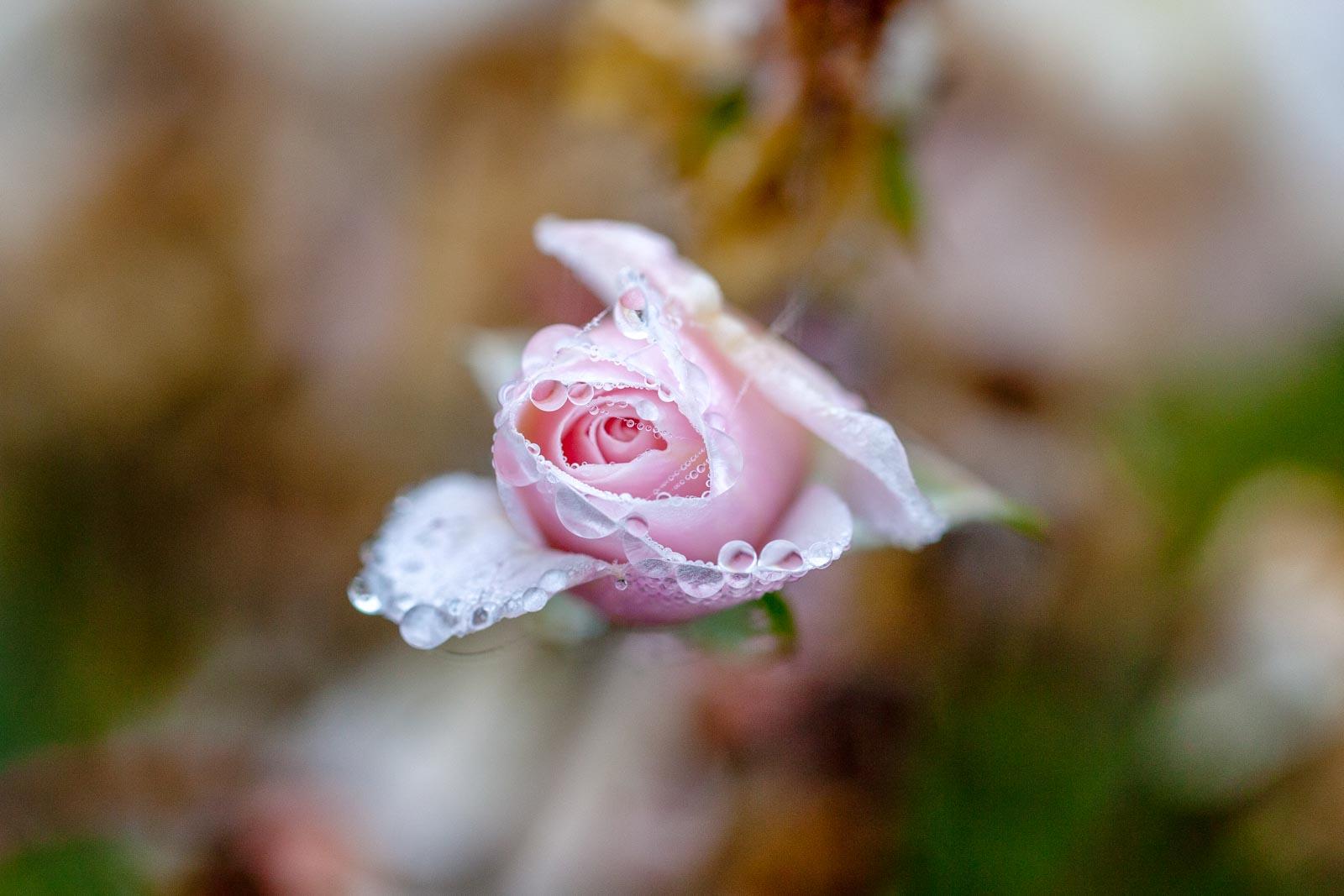 Roze roos met waterdauw en spinnerag